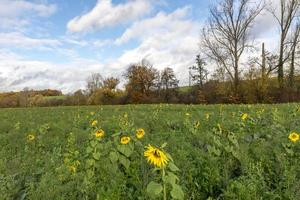 skördade fält med solrosor som grön gödsel planterad med moln framför blå himmel foto