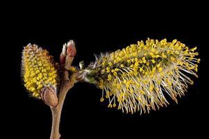 makrobilder av blommor av ett pilträd med ståndare foto