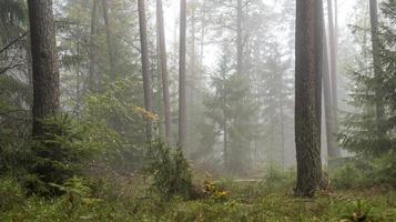 skog i dimman med tallar lövträd och granjord bevuxen med mossa och ormbunkar foto