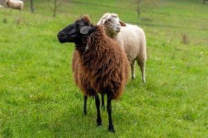 ett brunt får står på en äng framför andra får foto