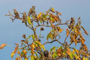 många stare sitter på ett valnötträd med höstlövverk och blå himmel foto