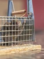 liten mus sitter fast i en trådfälla mot suddig bakgrund foto