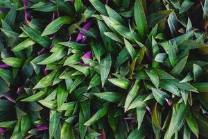 tradescantia spathacea bakgrund och natur bakgrund foto