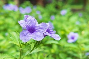 ruellia tuberosa blomma bakgrund foto