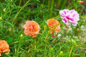 purslane blomma bakgrund foto