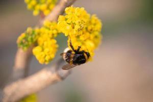 närbild av ett bi på gul blomma med suddig bakgrund foto