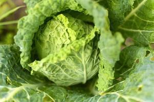 vitkål trädgård växer lwafy grönsak ärlighet organisk foto