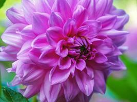 närbild av en vacker rosa lila dahliablomning foto
