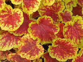 ljusröda och gröna heucherellabladen foto