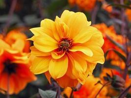 ljusgul dubbel dahlia blomma med en humla foto