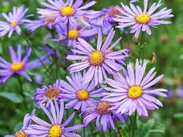 lila blommor av aster amellus rudolf goethe foto