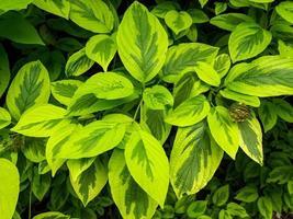 brokiga blad av cornus alba spaethii rödbarkat kornved foto