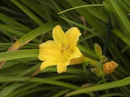 gul daylily blomma hemerocallis stella de oro foto
