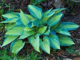 hosta växt med gröna och gula brokiga blad foto