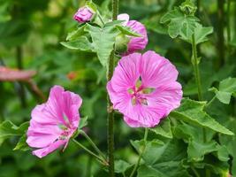 rosa blommor av trädmalva lavatera thuringiaca foto