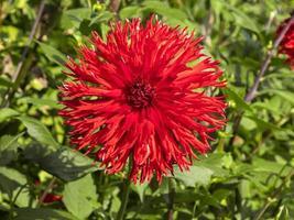 stor frilly röd dahlia blommar i en trädgård foto