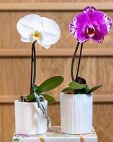 vit och rosa phalaenopsis stor singolo orkidé foto