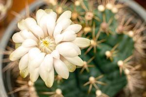 närbild gymnocalycium anisitsii vit blomma foto