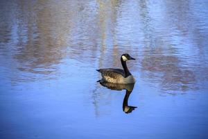 kanadensisk gås som flyter på vattnet i en damm foto