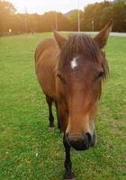 vacker brun hästporträtt på ängen foto
