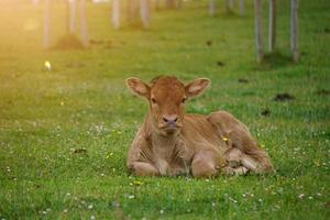 vacker brun ko porträtt på ängen foto