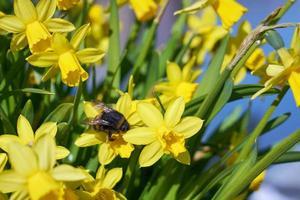humla pollinerar gul narciss utomhus i parken foto