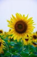 vacker solros med gröna blad foto