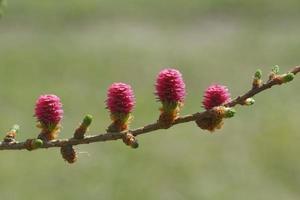 unga ägglossningskottar av lärkträd på springi foto