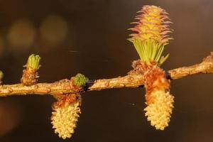 unga ägglossning och pollenkottar av lärkträd på våren foto
