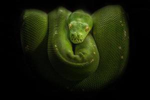 grönt träd python foto