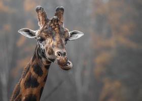 norra giraff närbild foto