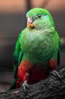 australisk kung papegoja foto