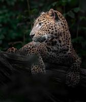 Sri Lanka leopard foto