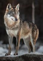 porträtt av eurasisk varg foto