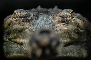 porträtt av gharial foto