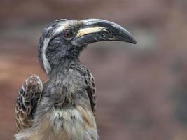 afrikansk grå hornbill foto