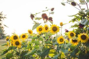gula solrosor under dagtid foto
