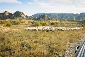 fåren i det skyddade området i Vashlovani foto