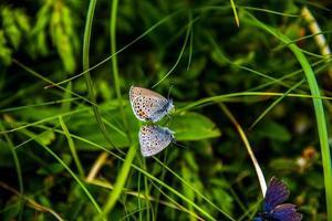 fjärilar på gräset foto