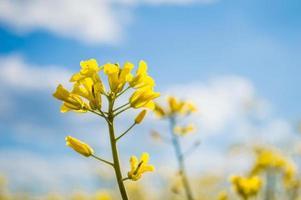 landskap av ett fält av gul raps eller rapsblommor som odlas för rapsoljans gröda fält av gula blommor med blå himmel och vita moln foto