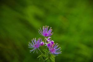 thalictrum aquilegiifolium blomma foto