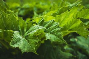 gröna blad av hogweed grön bakgrund av texturerat blad foto