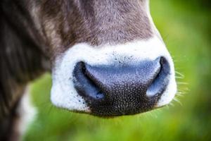 närbild av en ko på Monte Altissimo nära Gardasjön, Trento, Italien foto