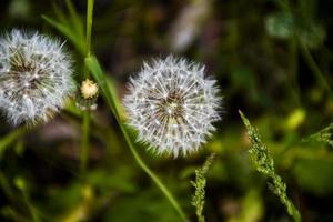 maskros närbild tidigt på våren foto