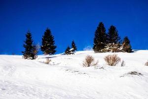 tallar och snö foto