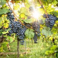 mogna blå druvor hänger i solens direkta bakgrundsbelysning på busken foto