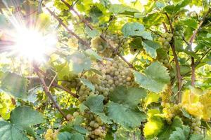 mogna gula druvor hänger i direkt bakgrundsbelysning från solen på busken foto