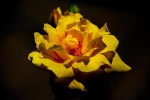 närbild av en gul ros foto