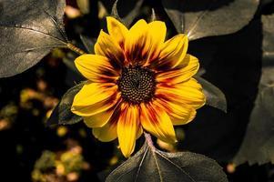 solros i gult och grönt nära mantova foto