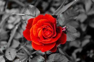 röd ros i en svartvit miljö foto